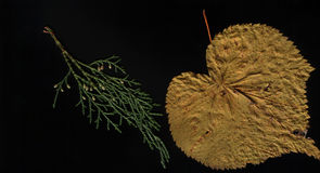 Autumn foliar and coniferous herbarium on black background, flat lay. Autumn foliate and coniferous herbarium on black background, flat lay. A leaf of linden Royalty Free Stock Photography