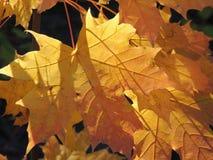 Autumn folium of Acer Stock Photos