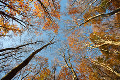 Autumn forest. View from the bottom of a forest in autumn with blue sky Royalty Free Stock Image