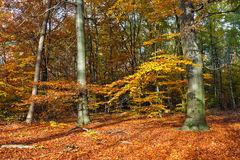 Autumn forest. Vibrant image of autumn forest at sunset Royalty Free Stock Photography