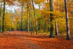 Autumn forest. Vibrant image of autumn forest at sunset Stock Images