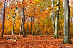Autumn forest. Vibrant image of autumn forest at sunset Royalty Free Stock Photo