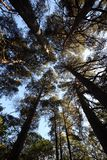 Autumn Forest. Fir trees reaching for the sky in an autumn forest Stock Photography
