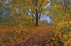 Autumn forest. A path is in the autumn forest. Morning fog royalty free stock photo