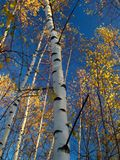 Autumn forest. Birch forest in the golden autumn Stock Photography