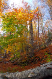 Autumn forest. With view of old beech Stock Images