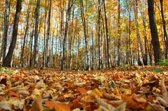 Autumn in forest. Autumn in czech forest with golden leaves stock photos