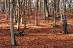 Autumn forest. Leafy forest in fall colors Stock Photography