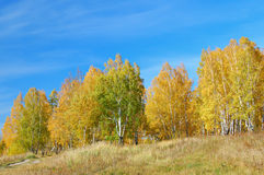 Autumn forest. Autumnal woods with golden foliage and light blue sky Royalty Free Stock Photo
