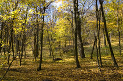 Autumn forest. Nature. Forest in a sunny autumn day. Many trees with yellow leaves. Blue sky royalty free stock photos