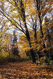 Autumn forest. Scenic view of trees and fallen leaves in Autumnal forest royalty free stock image