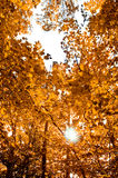 Autumn forest. With sun rays Royalty Free Stock Photography