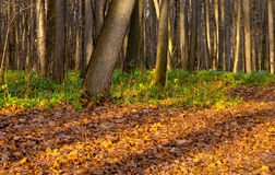 Autumn forest. With sun beams Royalty Free Stock Images
