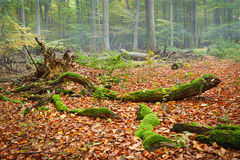 Autumn forest. Foggy day in autumn forest Royalty Free Stock Photo