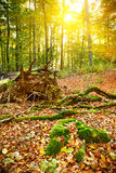 Autumn forest. Sunset in the autumn forest Royalty Free Stock Images