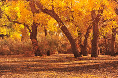 Autumn forest. Forest colors in autumn season.Populus euphratica under sunset.Inner Mongolia,China Royalty Free Stock Photography