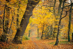 Autumn in the forest. Pathway in the autumn forest, Germany Royalty Free Stock Images