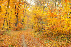 Autumn in the forest. Pathway in the autumn forest, Germany Stock Images