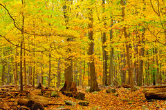 Autumn Forest. Scene on a trail in Catoctin Mountain Park, MD Stock Image