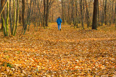 Autumn forest. Man walking about autumn forest Royalty Free Stock Photo