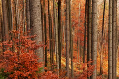 Autumn Forest Royalty Free Stock Photography
