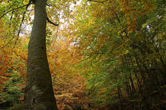 Autumn forest. Autumn arrives at Montseny natural park royalty free stock photography