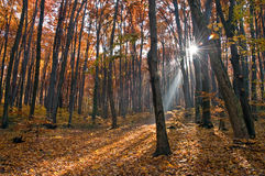 Autumn forest. Sunlight breaks through in the autumn forest Stock Images