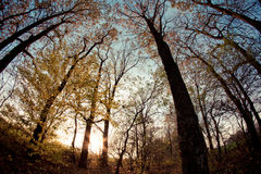 Autumn forest. The sun sets in the autumn forest Royalty Free Stock Photography