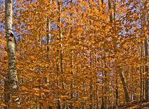Autumn Forest. Golden yellow leaves of Fall Royalty Free Stock Photography