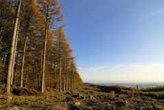 Autumn Forest. Clearing and tree stumps Royalty Free Stock Images