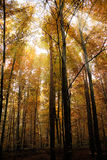Autumn Forest. Autum Forest in the sun Royalty Free Stock Photo
