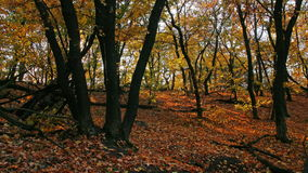 Autumn forest. 4K. FULL HD, 4096x2304. Royalty Free Stock Photography