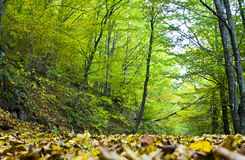 Autumn forest. With green trees and fallen leaves Royalty Free Stock Photos
