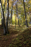 In the autumn forest. In the autumn, sunny, beech, colorful forest Stock Images
