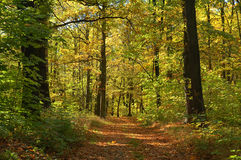 Autumn in forest. A path in early autumn forest Stock Photos