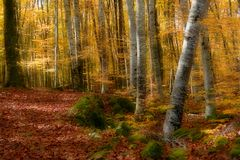 Autumn Forest. Beech Forest red in autumn with red leaves in the ground Stock Images