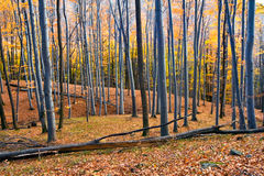 Autumn forest. Forest in fall the mountains Royalty Free Stock Photography