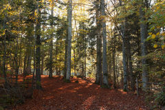 Autumn forest with afternoon light Royalty Free Stock Photos