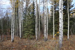 Autumn forest in Alberta. Trees in forest in Alberta, Canada Stock Image