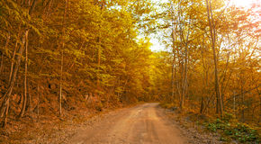 Autumn forest, all the foliage is painted with golden color in the middle of the forest road. Sunny day Royalty Free Stock Images