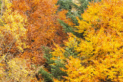 Autumn forest as background Royalty Free Stock Images