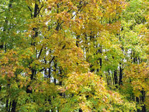 Autumn forest. Autumn. Forest as background. Yellowing leaves on the trees. Nature Stock Image
