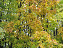 Autumn forest. Autumn. Forest as background. Yellowing leaves on the trees. Nature Stock Photo