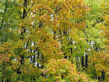 Autumn forest. Autumn. Forest as background. Yellowing leaves on the trees. Nature Royalty Free Stock Image