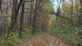 Autumn forest, Autumn forest and a footpath stock video