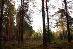 Autumn forest. Autumn trees birch. Pine and spruce Royalty Free Stock Image