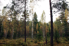 Autumn forest. Autumn trees birch. Pine and spruce Stock Images