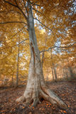 Autumn forest background Royalty Free Stock Photography