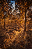 Autumn forest background Royalty Free Stock Image