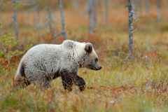 Autumn forest with bear cub. Beautiful baby brown bear walking around lake with autumn colours. Dangerous animal in nature forest Stock Image